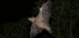 Egyptian Fruit Bat Using Echolocation
